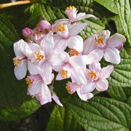 Дейція Kalmiiflora фото