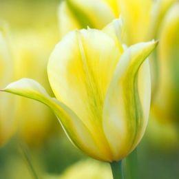 Тюльпан Formosa фото