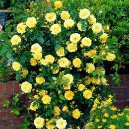 Троянда плетиста Golden Showers фото