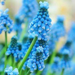 Мускарі Blue Magic 100 шт/уп фото