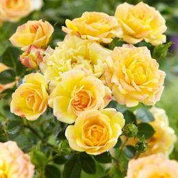 Троянда Yellow Fairy фото