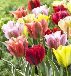 Тюльпани Зеленоквітні Мікс фото