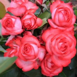 Троянда плетиста Antike 89 фото