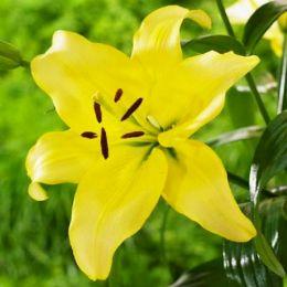 Лілія Yellow Power фото