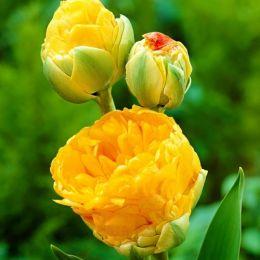 Тюльпан Double Beauty of Apeldoorn фото