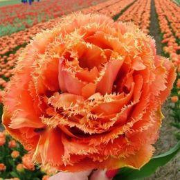 Тюльпан Sensual Touch фото