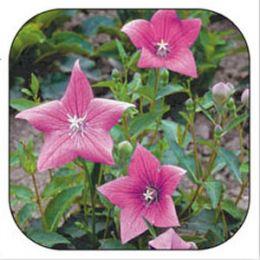Платикодон Гаваї рожевий фото