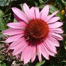 Ехінацея пурпурова фото
