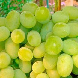 Виноград Плевен фото