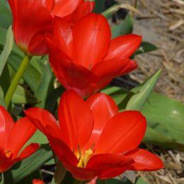 Тюльпан Spring Pearl фото