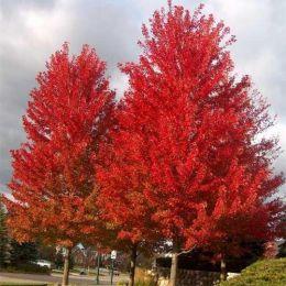 Клен Фрімана Autumn Blaze фото