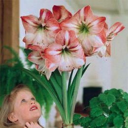 Амариліc Flower Record фото