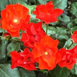 Троянда Amsterdam фото