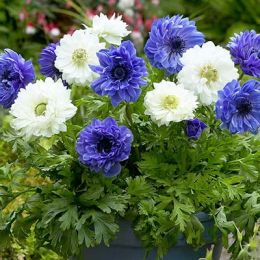 Анемони Blue and White Мікс фото