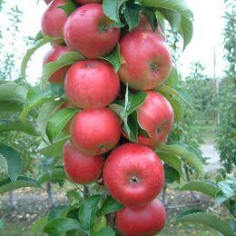 Яблуня колоновидна Антей фото