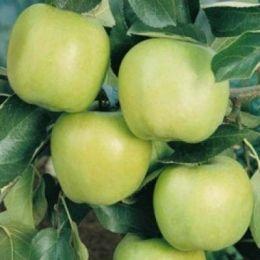 Яблуня Мутсу фото