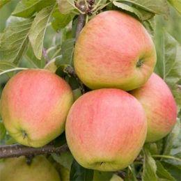 Яблуня Пінова фото
