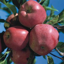 Карликова яблуня Gloster фото