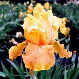 Ірис Apricot Silk фото