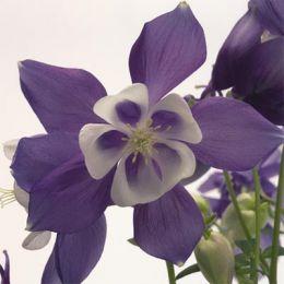 Аквілегія Spring Magic Blue & White фото