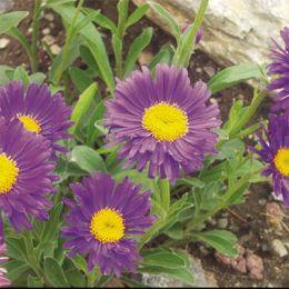 Айстра Alpinus Violet фото