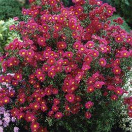 Айстра Crimson Brocade фото