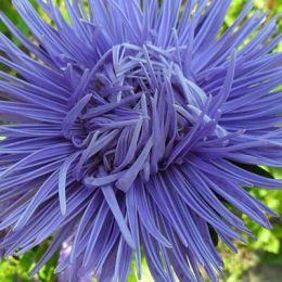 Айстра Голчаста блакитна фото