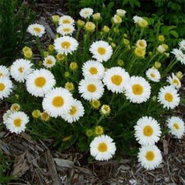 Айстра Alpinus White фото