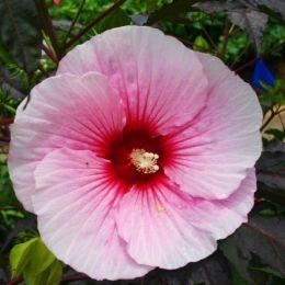 Гібіскус садовий Summer Storm фото