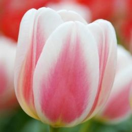 Тюльпан Beau Monde фото