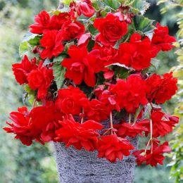 Бегонія Cascade Scarlet фото