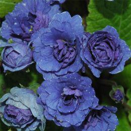 Примула Blue Sapphire фото