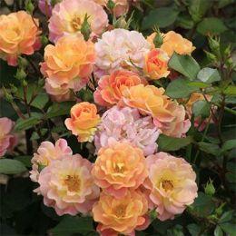 Троянда Bordure Camaieu фото
