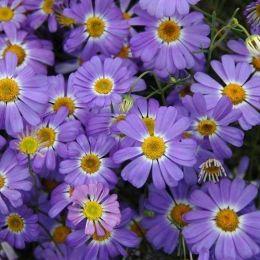 Брахікома Fresco Violet фото