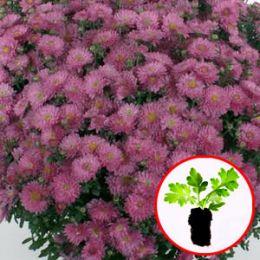 Хризантема Braque Pink фото