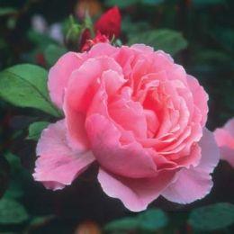 Троянда Brother Cadfae фото