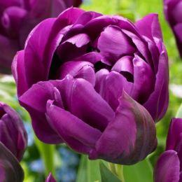 Тюльпан Negrita Double фото