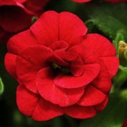 Калібрахоа MF Double Dark Red фото
