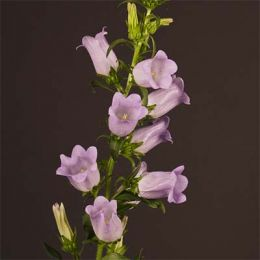 Кампанула Champion Lavender фото