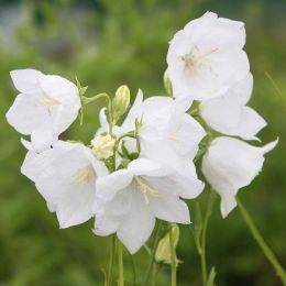 Кампанула Persicifolia White фото