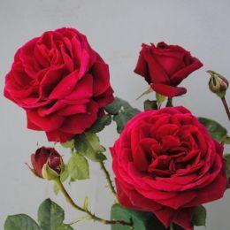Троянда Capricia фото