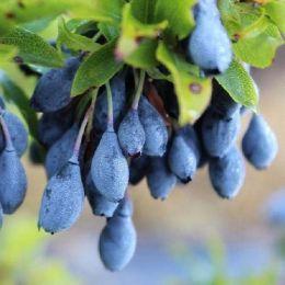 Чорниця циліндрична Blau Perle фото