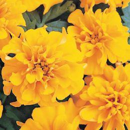 Чорнобривці Сонце Кармен фото