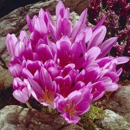 Пізньоцвіт Lilac Wonder фото
