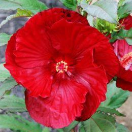 Гібіскус садовий Cranberry Crush фото