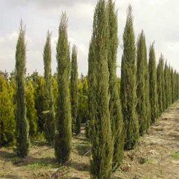 Кипарис вічнозелений фото