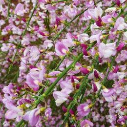 Рокитник Moyclare Pink фото