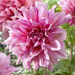 Жоржина Striped Emory Paul фото