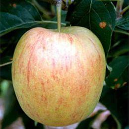 Яблуня Делькорф фото