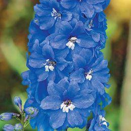 Дельфініум Беладонна, блакитний фото